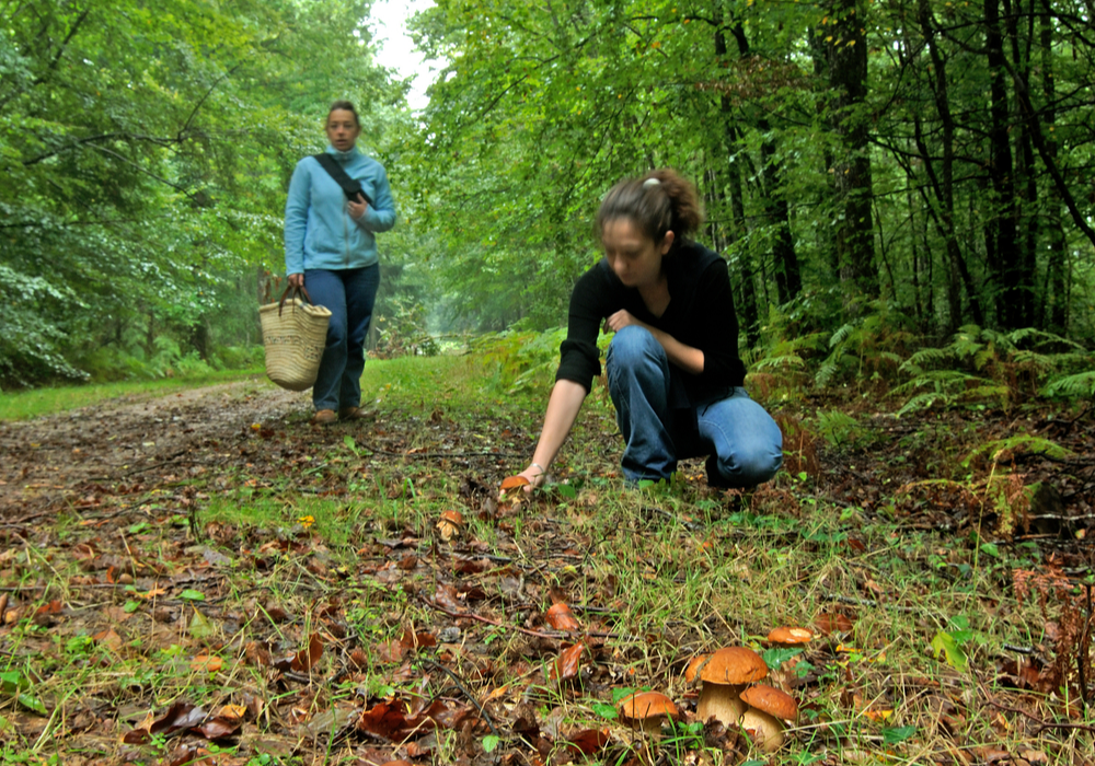 Cueillette Champignons Forêt des Bertranges ©Ch.Goupi