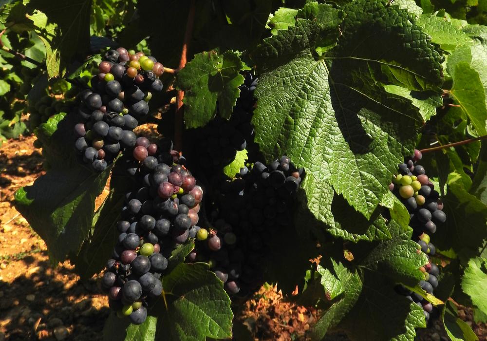 Grappes Vignes Saint-Lay ©CCLB